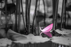 A lost petal (aotaro) Tags: japan lost tokyo lotus fallen 272e tamron90mmf28macro lotuspetal lotusfield yakushiikepark ilce7m2 afallenlotuspetal