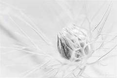 High Key Flower (bella_blue_star) Tags: highkey flower white mono