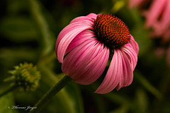 Streamlined 0721 Copyrighted (Tjerger) Tags: nature beautiful beauty bloom closeup coneflower flora floral flower garden green macro orange pink plant streamlined summer wisconsin natural