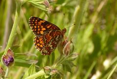 ? Hoffman's Checkerspot (Chlosyne hoffmanni manchada) (vietnamvera) Tags: checkerspot canadaflorafauna canadianbutterflies canadianlepidoptera canadianrockymountains