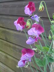 Sweet Peas ! (Mara 1) Tags: summer2016 garden flowers sweet peas tall climber buds purple blue stems garage wood outdoors