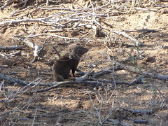 Mongoose, Kruger National Park, South Africa (dannymfoster) Tags: africa animal southafrica nationalpark krugernationalpark mongoose kruger