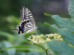 2016-07-30 16.12.03 (Polotaro) Tags: mzuikodigital45mmf18 butterfly insect bug nature olympus epm2 pen zuiko          7