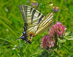 the great beauty of.... (ermenegildore) Tags: flowers macro nature butterfly butterflies natura fiori farfalla farfalle