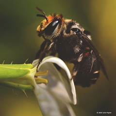 Apidae>> Apinae >> Emphorini >> Melitoma (Julio Pupim) Tags: juliopupim macrofotografia polinizao agriculturafamiliar stiosojoopiracicabasp simbiose agriculturasintrpica abelhasolitaria agrotxicomata melitoma bee