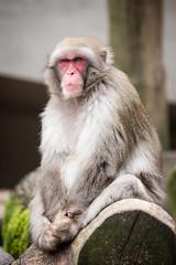 2016-08-04-15h38m29.BL7R7125 (A.J. Haverkamp) Tags: canonef100400mmf4556lisiiusmlens amsterdam zoo dierentuin httpwwwartisnl artis thenetherlands japansemakaak japanesemacaque