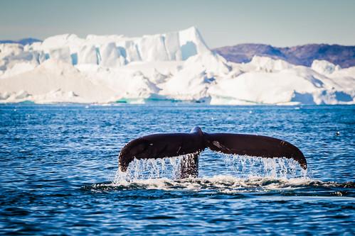 Humpback whale outside Ilulissat, Greenland