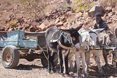 148-Damaraland-015 copy (Beverly Houwing) Tags: africa men desert namibia himba donkeycart damaraland