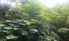 Foliage. (Somersaulting Giraffe) Tags: outdoor foliage nature green leaves wondersofnature
