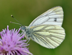 Green Veined White on a creeping thistle (conall..) Tags: 060816 greenveined white pieris napi greenveinedwhite pierisnapi cirsium arvense cirsiumarvense creeping thistle creepingthistle macro raynox dcr250