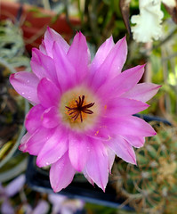 Echinocereus rigidissimus var. rubrispinus (nolehace) Tags: echinocereus rigidissimus var rubrispinus 716 summer nolehace sanfrancisco fz1000 plant bloom flower