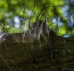 Tree cobwebs (KF-Photo (off)) Tags: bokeh crop spinnennetz baumstamm baumrinde spinnweben pliezhausen merzenbach