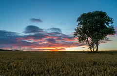 Lone Tree (Kimberley Hoyles) Tags: sunset sun tree beautiful composition one cool wheat beaty only stunning lone lonely bluehour colourful nikond3200 coloure coloures