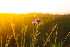 Day 204 (kubaszymik) Tags: bokeh bokehlicious dof golden hour yellow orange canon macro analog vsco film flowers flower fields colors sunset dusk