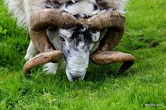 Safety helmet for rams (mootzie) Tags: hebrideswildlife ram tup horns curly grass croft woolly ness lewis outer hebrides