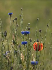 Par un beau soir d'été **--- ° (Titole) Tags: sunlight field poppy cornflower friendlychallenges thechallengefactory titole nicolefaton
