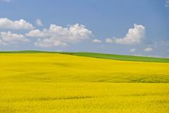 Alberta Summer (jan lyall) Tags: summer canada field yellow clouds landscape fuji alberta prairie jans canola rapeseed janlyall