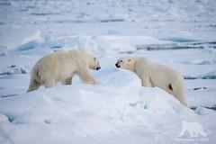 Friends or Enemies? (fascinationwildlife) Tags: animal mammal polar bear eisbr br wild wildlife arctic snow male ice spitsbergen spitzbergen north norwegen predator nature natur sea