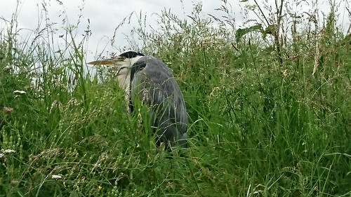 Newcastle Heron