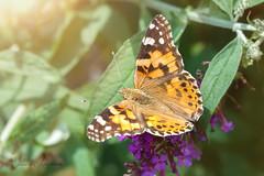 Distelfalter (Eleonora Lengemann) Tags: distelfalter schmetterling sommerflieder sommer garten sonne falter