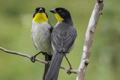 Mr & Mrs Yellow-throated brush finch -Explored- (PriscillaBurcher) Tags: avesdecolombia birdsofcolombia whitenapedbrushfinch gorrinmontsgorgiamarillo atlapetesbarbiamarillo atlapetesgutturalis atlapetesalbinuchagutturalis yellowthroatedbrushfinch dsc5275 explored