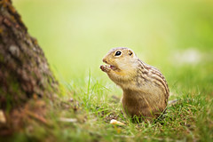 :: goldy :: (mjcollins photography) Tags: minnesota golden gopher thirteen lined ground squirrel prairie