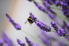 Lavande & Bourdon bzzzz (sandrineiwok) Tags: bourdon fleur lavande nature macro butinage fleurs insecte flowers bumblebee insect bug lavender foraging