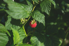 Raspberry bush (freestocks.org) Tags: berry bush food fresh fruit garden growing hanging healthy leaf natural nature plant raspberry raw red ripe summer sweet vitamin