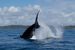 Humpback Whale (Byron Taylor) Tags: humpback whale canon7d canon australia
