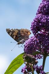 Erhhte Position - elevated position (ralfkai41) Tags: makro schmetterling insekten macro butterfly nature paintedlady outdoor vanessacardui insects natur distelfalter
