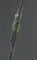 Relaxter Grashopper - Detail (Traumflieger_Foto) Tags: libelle makro traumflieger fokus stacking helicon pro grashpfer grashopper nachtruhe moor grashalm
