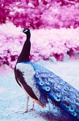 Peacock has the Blues (Markus Jork) Tags: leica m3 summicron 50mm fpp infrared aerochrome slide film colorir peacock