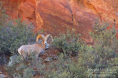 Bighorn Sheep Ram (Forget Me Knott Photography) Tags: brianknott fmkphoto forgetmeknottphotography ram sheep bighorn bighornsheep zion nationalpark utah zionnationalpark canyon plateau sandstone desert wildlife animal baby juvenile ewe orange red