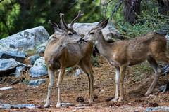 Morning Kiss (RStonejr) Tags: deer deers doe love deerlove canondslr canon dslr sierras highsierra california muledeer buck antlers mammal forrest kiss animalplanet nature owensvalley inyo inyonationalforrest inyocounty