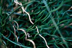 The Tangle (ranzino) Tags: kennettsquare longwoodgardens pa plant