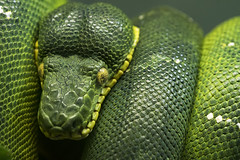 Emerald Tree Boa 43 (cypher40k Photography) Tags: color colour nikon boa emeraldtreeboa snake toronto torontozoo zoo