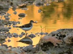Spotted Sandpiper HDR 03-20160823 (Kenneth Cole Schneider) Tags: florida miramar westbrowardwca