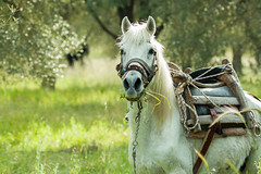 Horse on Lesvos (suerob) Tags: horse white equine lesvos countryside shepherd olive grove season summer saddle bridlemane flies