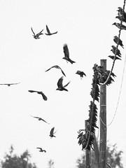 Flock of Jackdaws (miika.k) Tags: jackdaw naakka kaja dohle corvus monedula flock birds