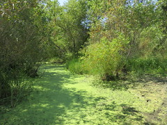That's not solid... (Kelson) Tags: marsh madronamarsh torrance southbay nature hike pond mud wetlands green plants