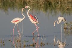 Flamenco comn (Phoenicopterus roseus) (jsnchezyage) Tags: flamencocomn phoenicopterusroseus ave pjaro fauna naturaleza birding bird