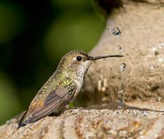 Allen's Hummingbird and droplets (sandranne2) Tags: allens hummingbird wildlife water fountain droplets bird birds biziaux sandrine scherson nature