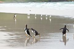 Day 10 188a (brads-photography) Tags: beach falklandislands falklands gentoopenguins pygoscelispapua reflection running saunders splashing standing three walking water wildlife