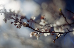 (.kopriva.) Tags: film analog 35mm cherry iso200 spring bokeh analogue praktica filmscan filmphotography vlc3 pomlad