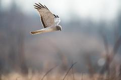 Gray Ghost Harrier (snooker2009) Tags: bird nature hawk wildlife ghost gray flight raptor northern harrier