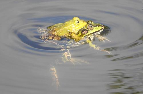 frog romance