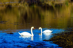 You looking at me? (mike in mayo) Tags: ireland abbey swans newport mayo scenicview burrishole