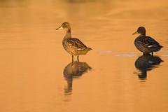 Patos Barcinos (ik_kil) Tags: santacruz argentina birds teal anas yellowbilledteal ríochico anasgeorgica provinciadesantacruz patojergóngrande patobarcino