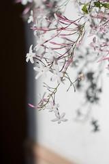 IMG_7007.jpg (Joze Lui) Tags: white flower 50mm spain europe jasmine flor jazmin