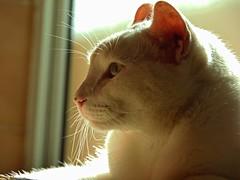 Branca (Gigica Machado) Tags: brazil animal brasil cat kitty gato gata whitekitty gatobranco